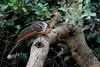 Hoatzin (Opisthocomus hoazin) by SpyderCam