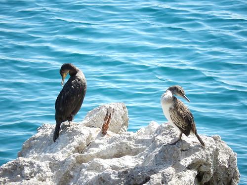 Opatija - vogels bij de Lungomare promenade
