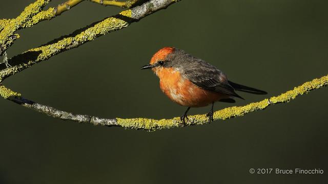 Male Vermilion Flycatcher Perched On Orange Lichen Branch