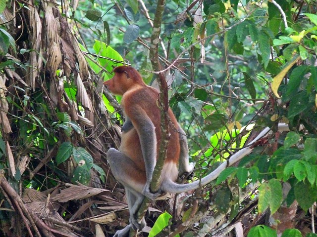 Mono narigudo, especie endémica de Borneo