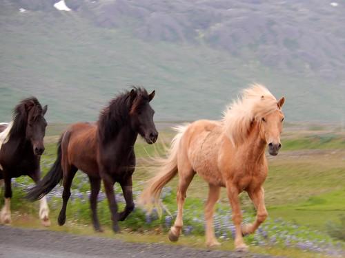 IJsland - Blonduos - paarden door de stad