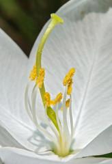 Bauhinia acuminata flower with stamens, style, stigma, filament.