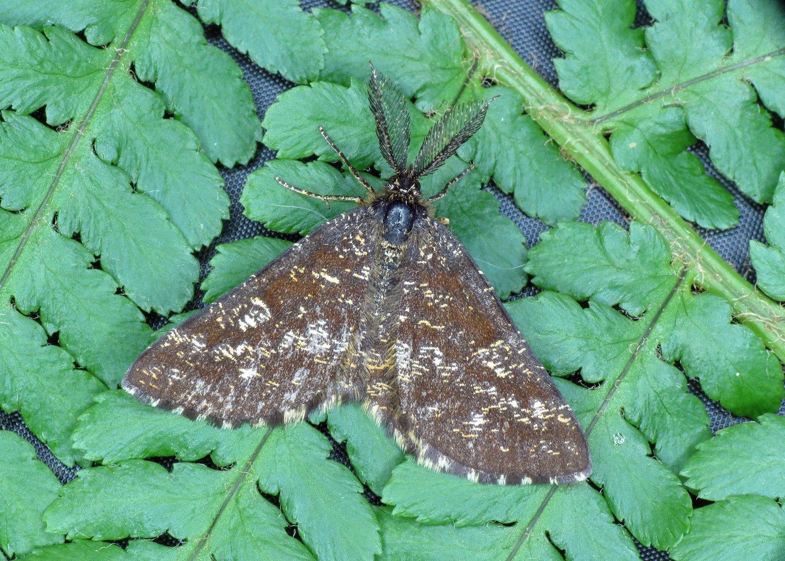 1952 Common Heath - Ematurga atomaria
