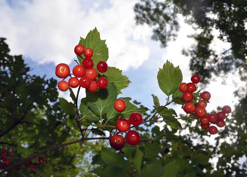 Highbush Cranberry Fruit | by U.S. Fish and Wildlife Service - Midwest Region