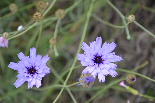 Catananche caerulea - catananche bleue  32535664390_8c1b0e1cae