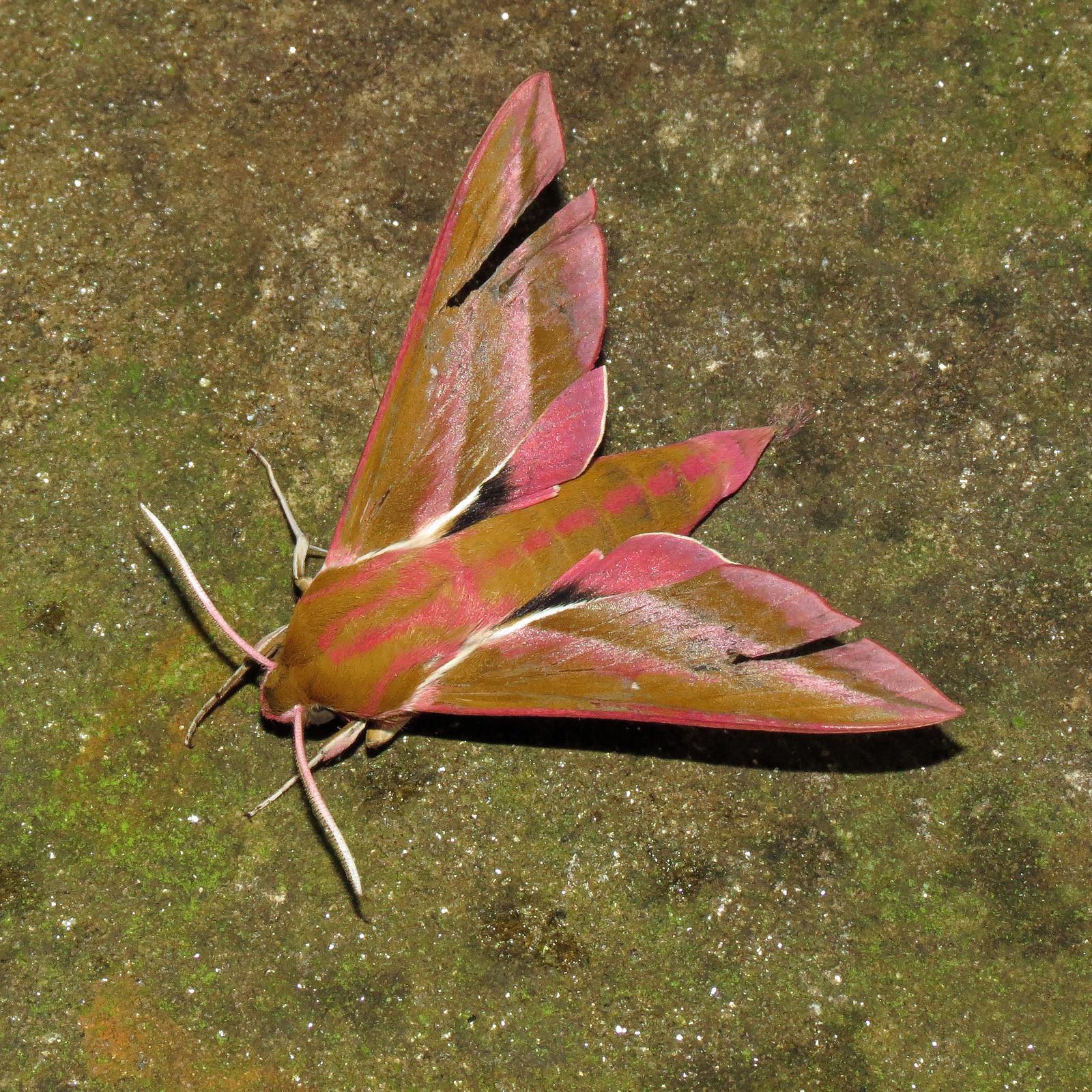 1991 Elephant Hawk-moth - Deilephila elpenor