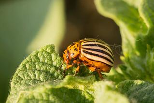 Colorado potato beetle (Leptinotarsa decemlineata) | by Anton Vakulenko