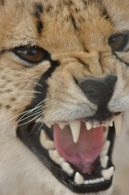 Unhappy cheetah - South Africa