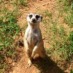 Mr. Meerkat, my new friend.