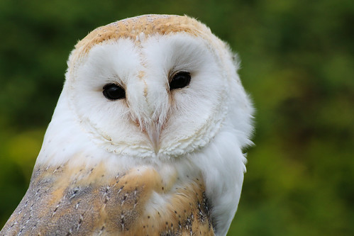 Barn Owl | by Chris Parker2012
