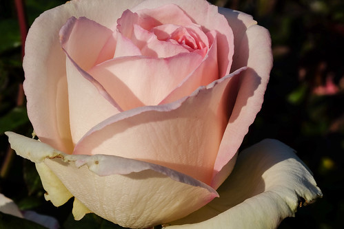 Pink Rose | by Donsca