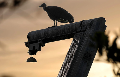 birds vulture blackvulture perched watching observing sunset hoist metal fishingvillage goodlandfl florida southwestflorida usa lagoon