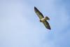 Swainson's Hawk (Buteo swainsoni) by Hector Cayetano Rosas