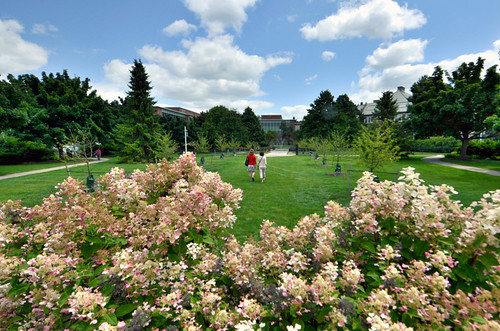 Hydrangea bushes frame the view of Old Horticulture Garden on a beautiful summer afternoon. (Photo/D.L. Turner)