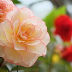 It is like a rose/Begonia(ベゴニア)