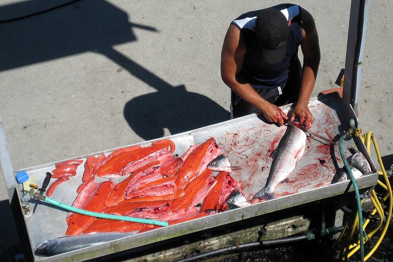 Salmon filleting