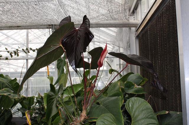 Anthurium moodeanum