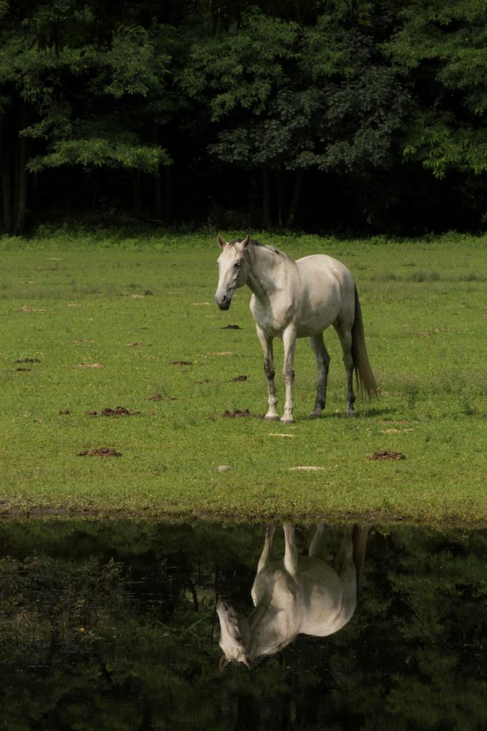 Ross Pferd