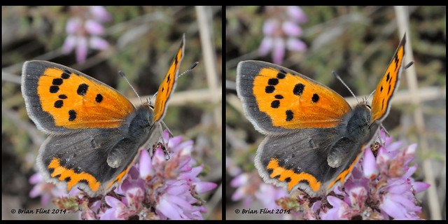 Small Copper Butterfly - 3d crossview
