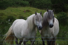 two horses near Oban, Scotland