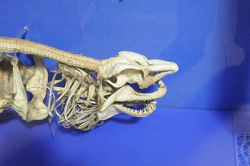 Sharks - Skeleton