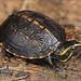 Striped Mud Turtle (Kinosternon baurii) by Jake M. Scott