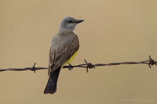 Western Kingbird | by rracine1