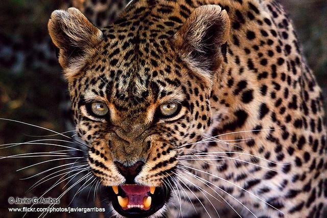 Leopardo en Moremi N.P. (Botswana)