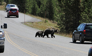 Grizzly sow and cub crossing road | by YellowstoneNPS