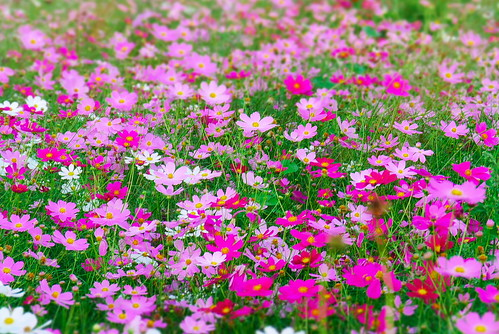 Seoul | Cosmos flowers | by travel oriented