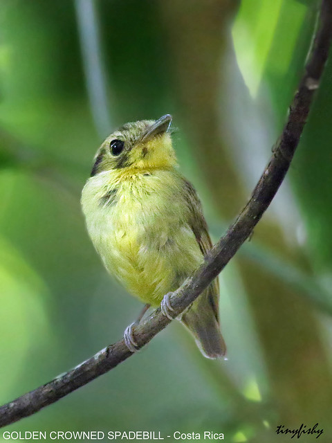 (No Count) Golden Crowned Spadebill - [ Los Cusingos Bird Sancturay, Costa Rica ]