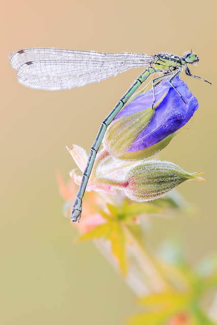 Greenish -blue Damsel