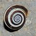 Flickr photo 'Land Snail (Cernuella virgata ?)' by: berniedup.