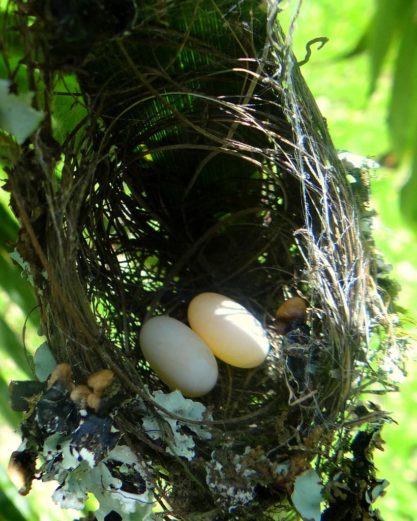 Ermitaño pecho canela [Rufous-breasted Hermit] (Glaucis hirsutus affinis) (Nido + huevo + [Nest + eggs)