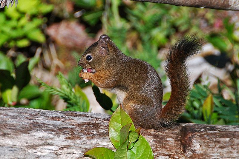 American Red Squirrel (Tamiasciurus hudsonicus) in Ucluelet, West Coast Vancouver Island, British Columbia
