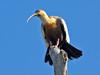 Buff-necked Ibis (Theristicus caudatus) by Rodrigo Conte