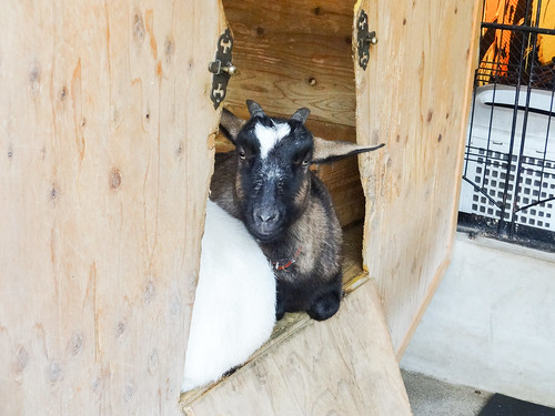 Sakuragaoka Cafe: Goat | by Dick Thomas Johnson