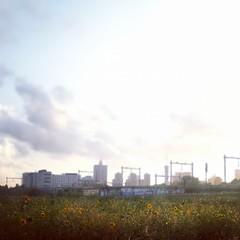 Den Haag skyline with sunflowers