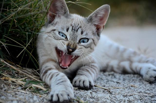 Tiger instinct . Felis Catus _4922