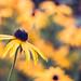 Yellow flower - Rudbeckia fulgida