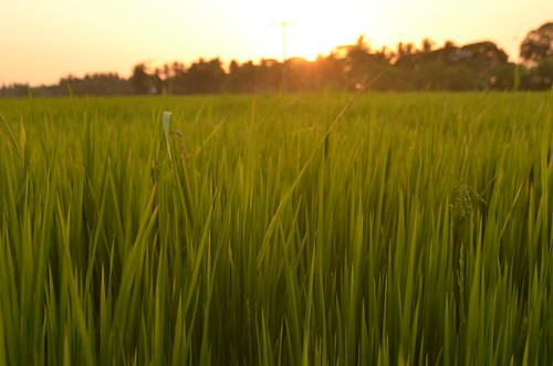 sunset green grass rice sri lanka tissamaharama nikond5100
