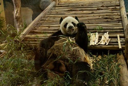 Giant Panda Chuang Chuang at Chiang Mai Zoo, Thailand | by kimtetsu
