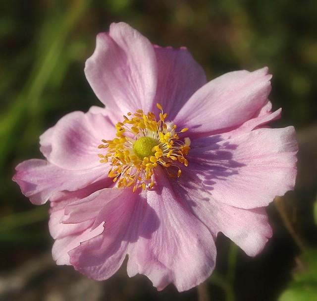 Elegante anemone