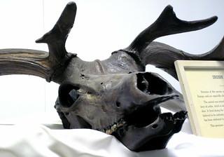 Megaloceros giganteus Irish elk skull (Pleistocene; peat bog near Limerick, southwestern Ireland) 2