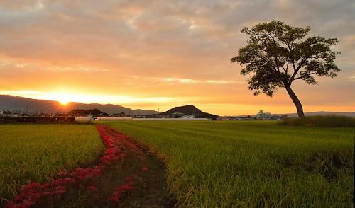 sunset field japan 夕景 奈良 彼岸花 古宮遺跡
