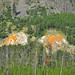 Hillside Springs (Hillside Springs Group, Upper Geyser Basin, Yellowstone Hotspot Volcano, nw Wyoming, USA)