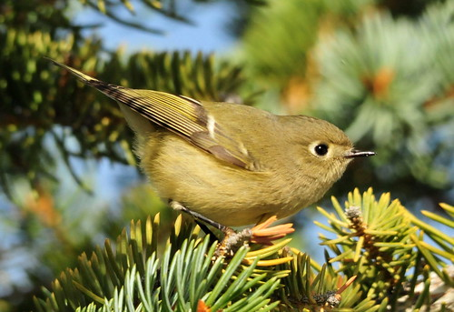Ruby-Crowned Kinglet on Seedskadee National Wildlife Refuge 02