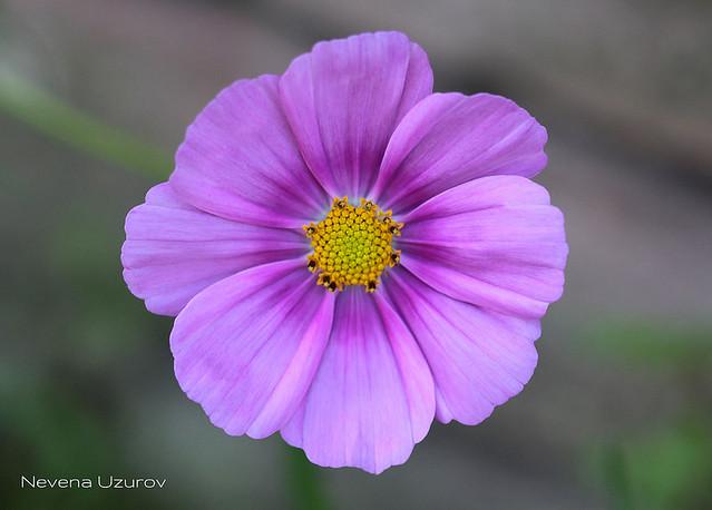 Nevena Uzurov - Pink petals