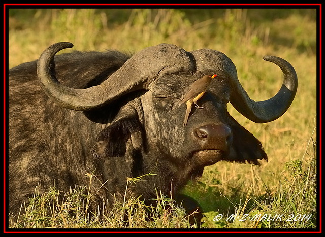 AFRICAN BUFFALO (Syncerus caffer) WITH YELLOW BILLED OXPECKER (Buphagus aficanus)......MASAI MARA.....SEPT 2014