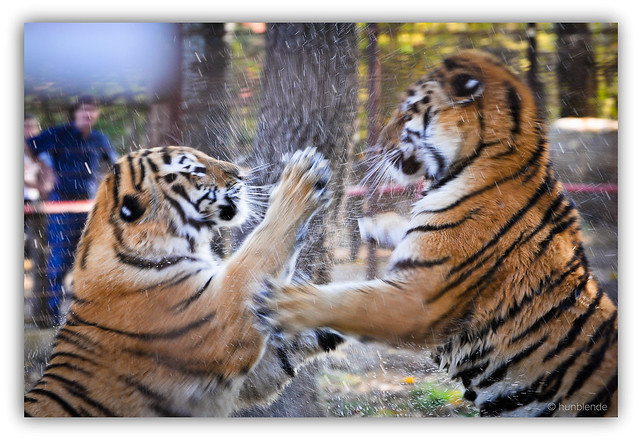 Tigers bully